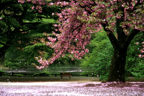 Picture of Culture in Bloom at Cherry Blossom Festival