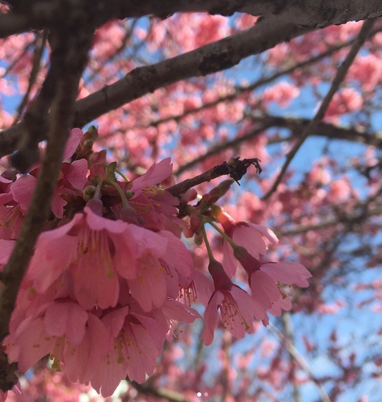 Picture of Celebrate Spring at the Cherry Blossom Festival